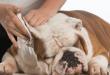 bulldog ear cleaning