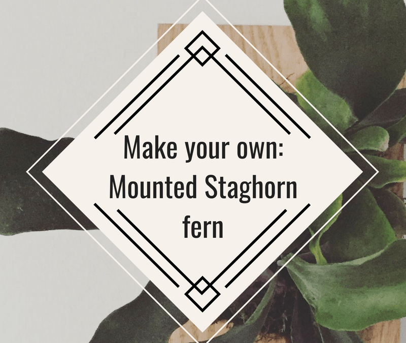 Diy mount your own Staghorn fern