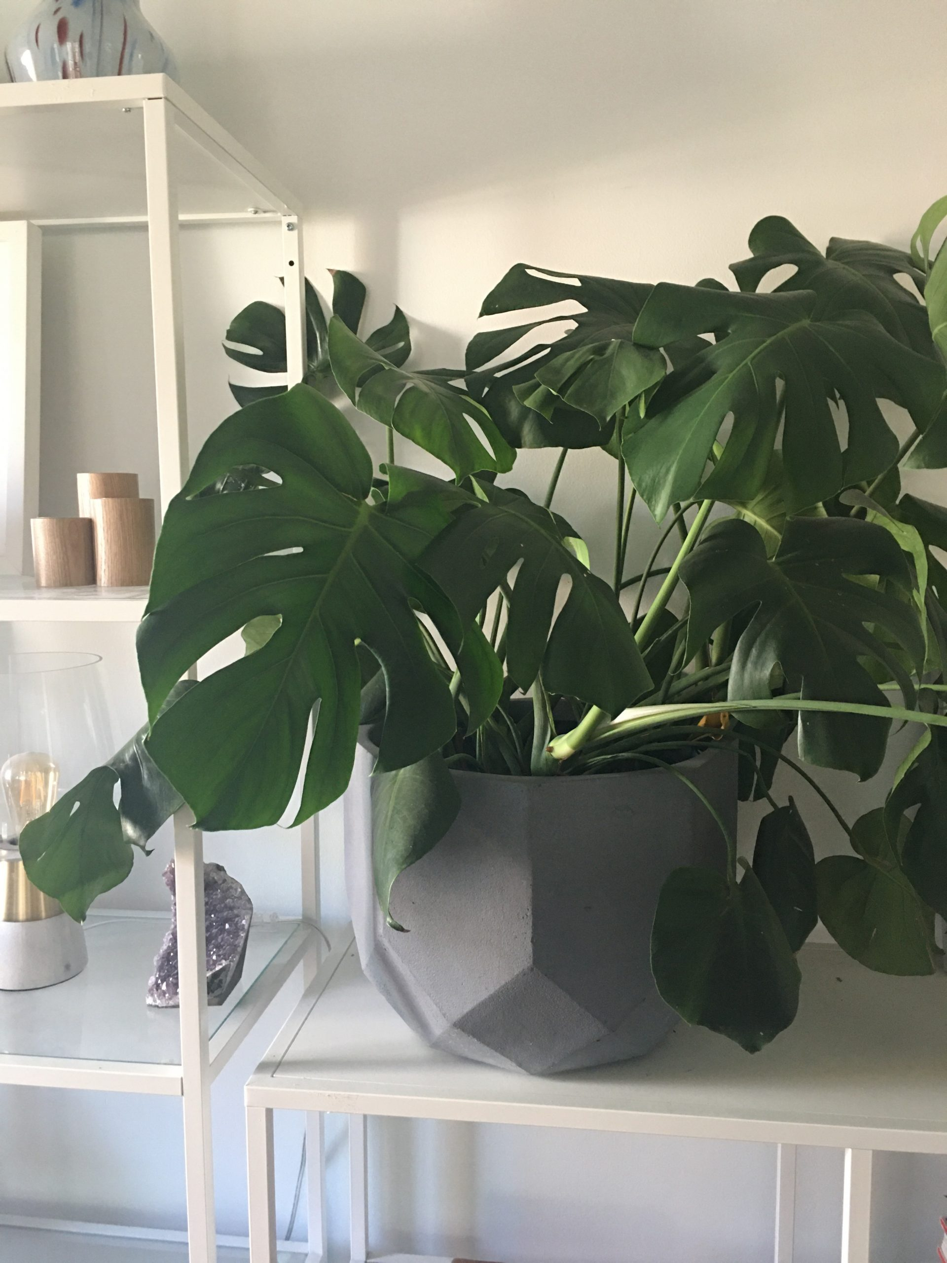 Large easy houseplants- philodendron