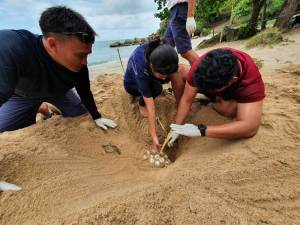 Giant Sea Turtle Lays Eggs Near Banyan Tree Samui Beach In Thailand