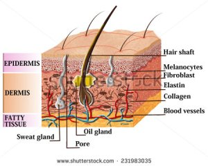 stockphotoskinanatomydiagramwithdescription