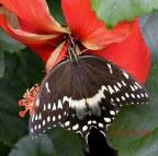 cl_butterfly_3