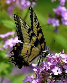 cl_butterfly_8