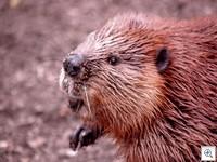 Beaver 070411dc 20036 thumb