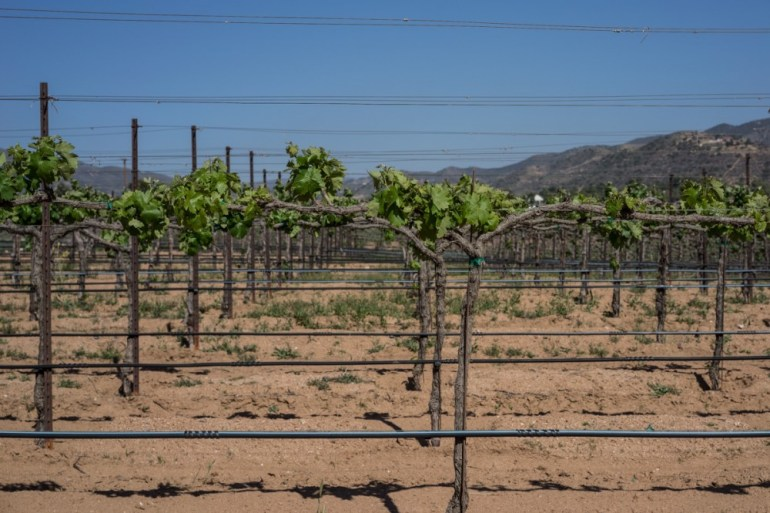 Table Grapes And Wine Grapes Alike Depend Upon Adequate Water For Optimum Growth And Production.
