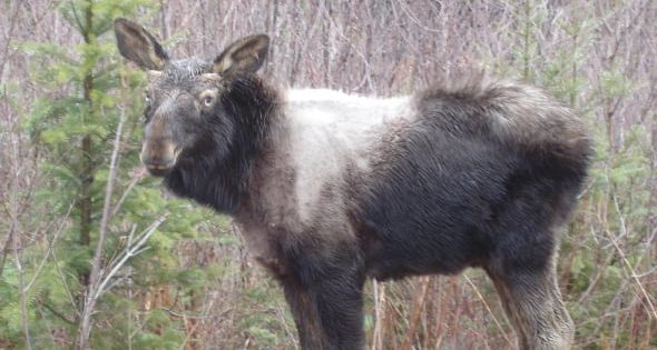 Climate change driving 'ghost moose' calf mortality, say researchers