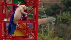 Outrage after Chinese theme park forces pig to bungee jump