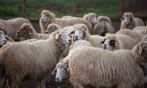 An historic agreement with the shepherds to fight fires and remove feral goats
