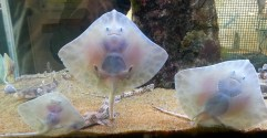 This baby ray looked like he was smiling at me!