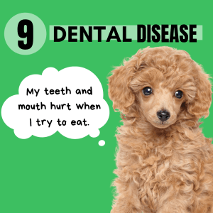 If you have a toy breed or small breed dog - be on the look out for textural preference. Small breed dogs are prone to dental disease which can cause pain, and difficulty eating - which can easily be mistaken for pickiness in a dog.