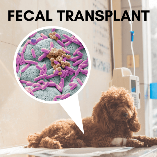 Fecal Transplant, an emerging therapy for dogs with parvovirus.