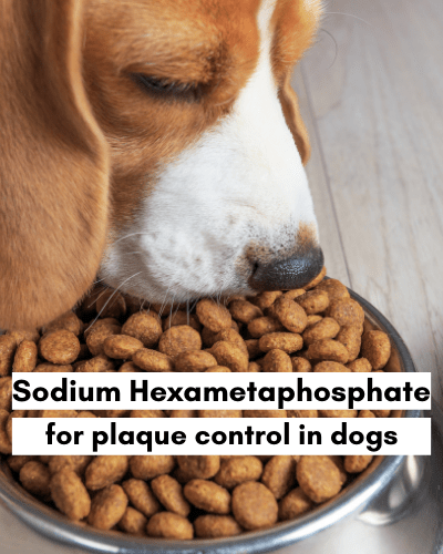 Sodium Hexametaphosphate for plaque control in dogs - beagle eating kibble