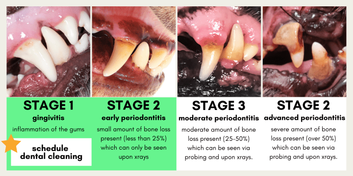 The four stages of dental disease in dogs, and when the best time to do a teeth cleaning for your dog.