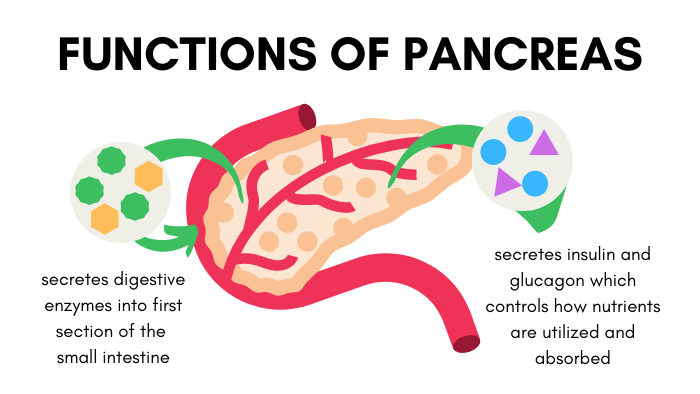 Visual of Pancreas Functions in Dogs