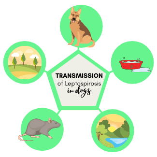 Transmission of Leptospirosis in dogs - parks, lakes, communal water bowls, wildlife (rodents)
