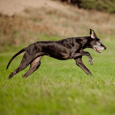 Running Senior Dog