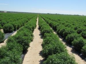 Folium Biosciences hemp farms are some of the largest in the USA. Location: La Junta, CO.