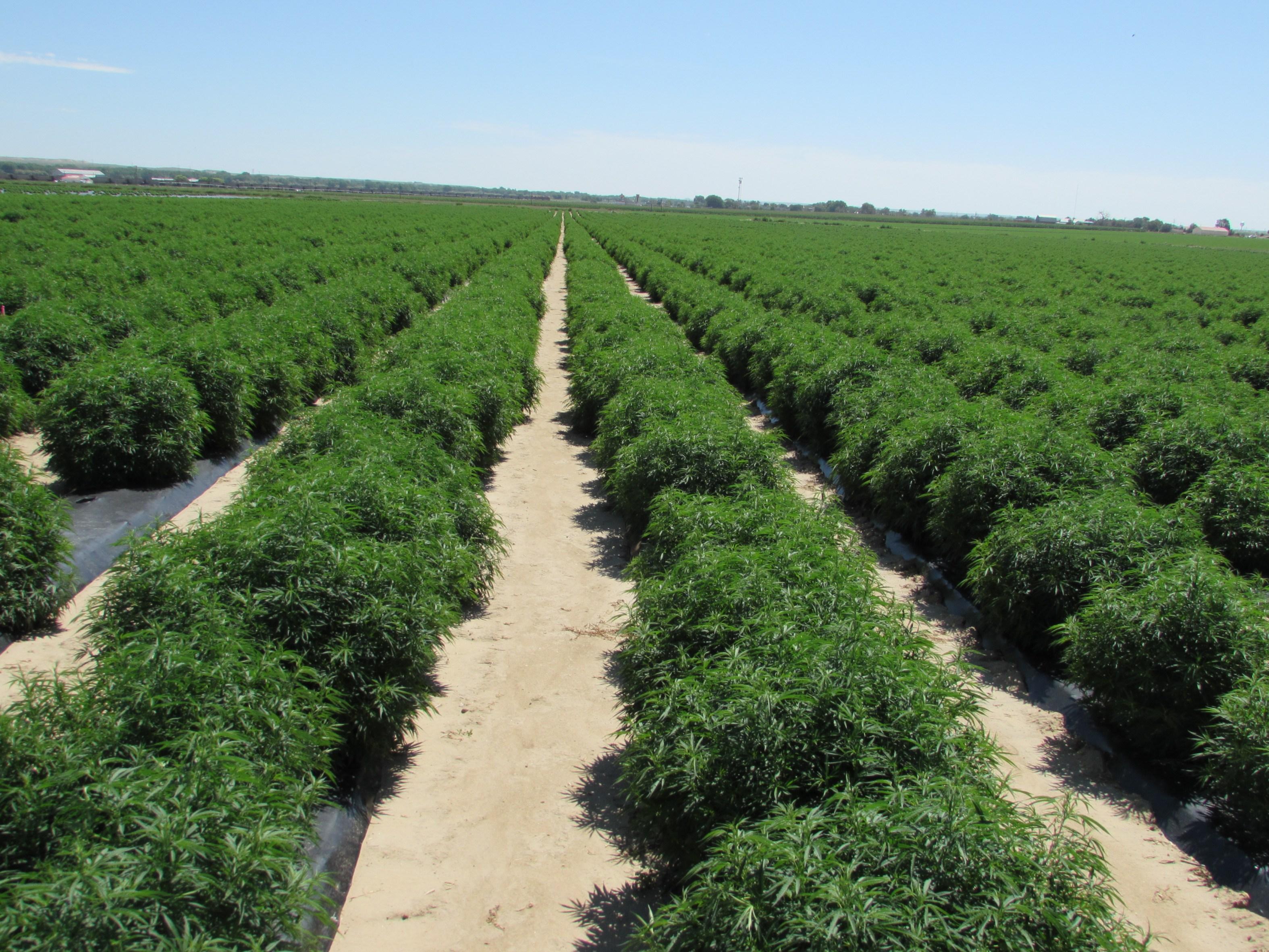 Member Blog: Hemp & CBD Legalization, Regulation