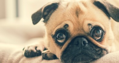 The Health Crisis Behind Instagram's Flat-Faced Dogs