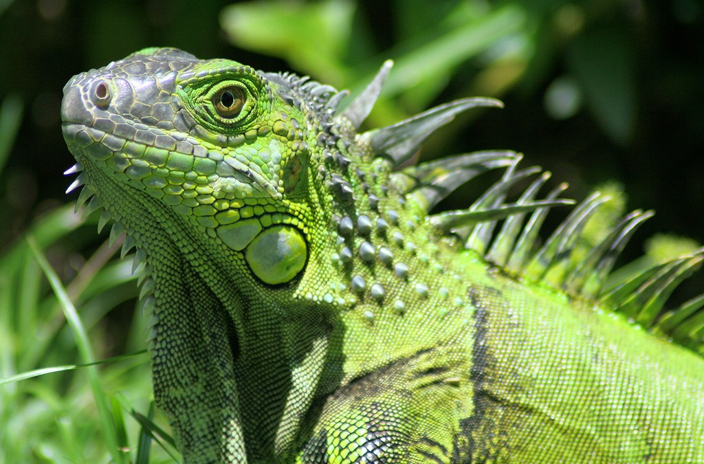 Leaping Lizards! Cold Snap Has Iguanas Falling from Trees in South Florida