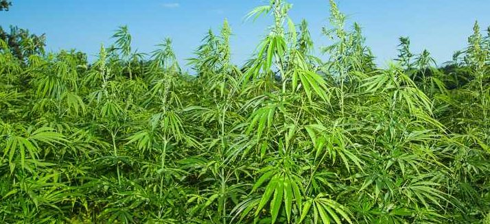 Florida farmers looking to cash in on new crop after Gov. DeSantis signs hemp bill into law