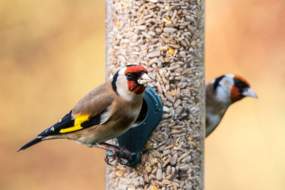 Two goldfinches (Carduelis carduelis) on a bird feeder in a UK garden during Winter. Devon, December.
