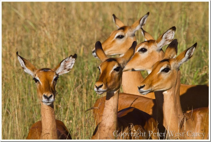 Watchful Impalas