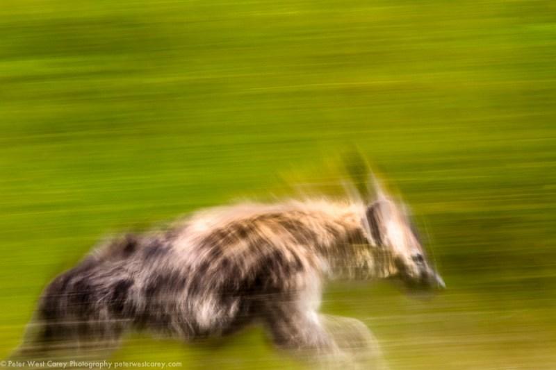 Hyena On The Run