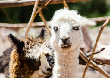 Crazy Llama, but then again, I think they all are, Peru