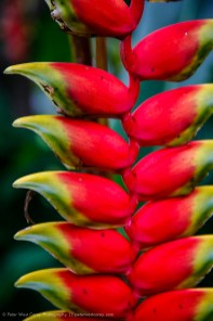 Parrot Flower (Heliconia), Costa Rica