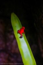 Red Poison Dart Frog (Oophaga pumilio), Costa Rica