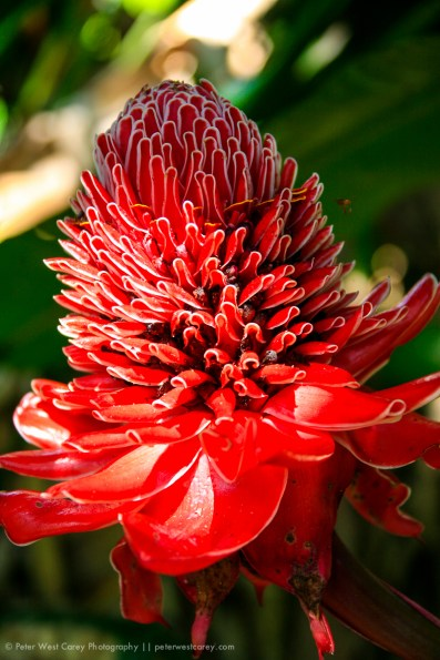 Ginger Flower In Bloom, Peru