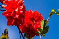 Himalayan Flowers, Nepal