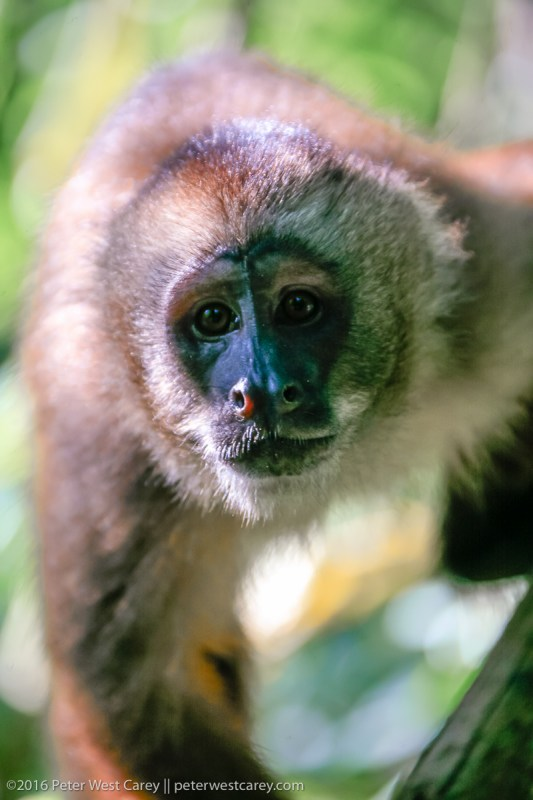 Portrait of Tufted Capuchin - Peru