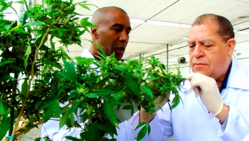 Jamaica plans to become the ' medical marijuana hub of the world'