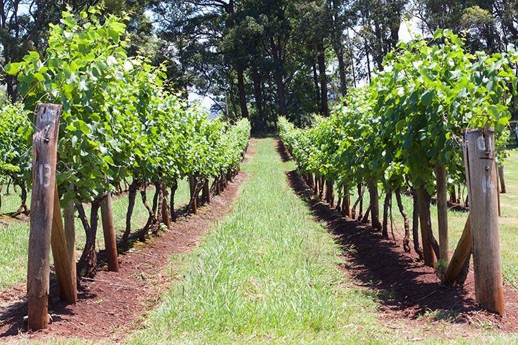 innes-lake-vineyard-vines-nsw