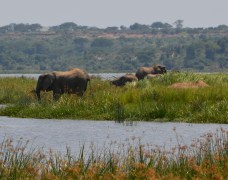 Elephants cooling down in the Nile River