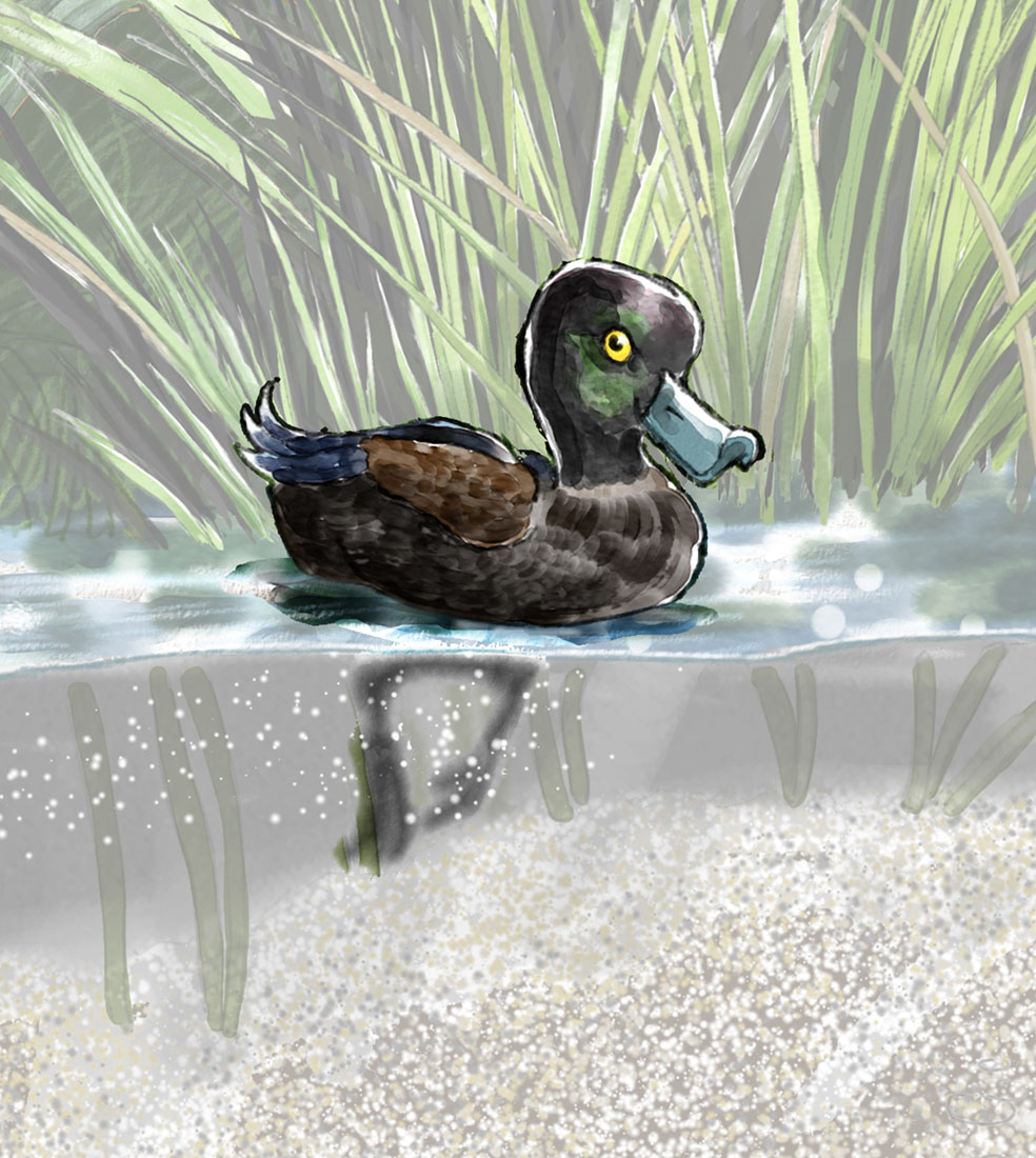 Cartoon of NZ scaup
