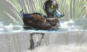 Nature Art- NZ Scaup