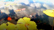 Clouds reflected among the lily pads of the Black River