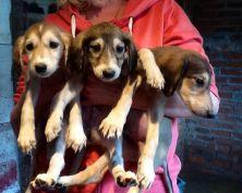 saluki-puppies-for-sale-52277859d66cb