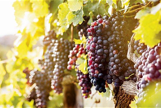 Vine and branches, grapes, Eucharist