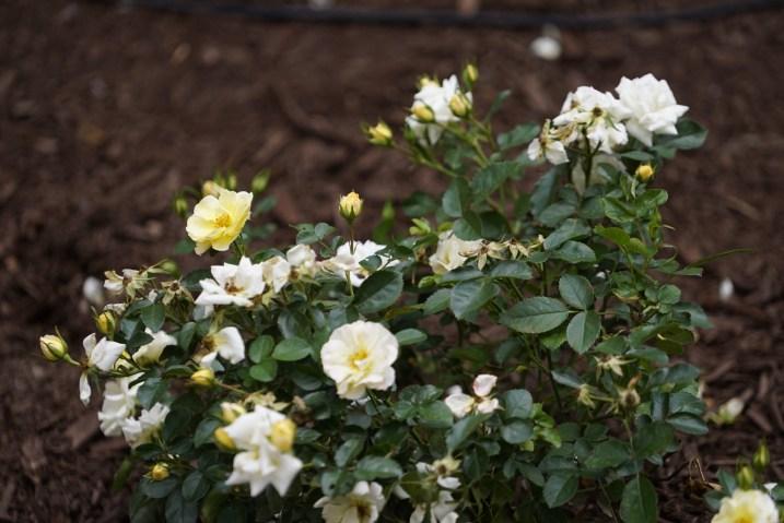 IMG 7146 1 - New garden honors local saint, family