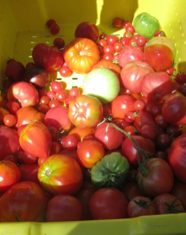 tomato varieties 1 - Green dream: Veggies shine at harvest time