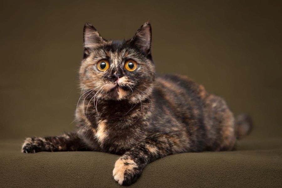 Seekor kucing kulit penyu cantik duduk di sofa