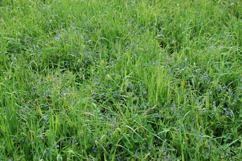 fields of blue flowers