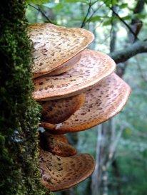 Dryads saddle mushroom favorited by Beatrix Potter.