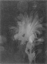 Laszlo Moholy-Nagy (1895 - 1946) Sans titre 1922 - 1923 Photogramme, virage au marron, épreuve gélatino-argentique 17,8 x 12,9 cm