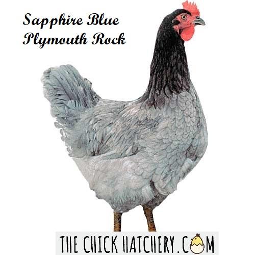 Sapphire Blue Plymouth Rock