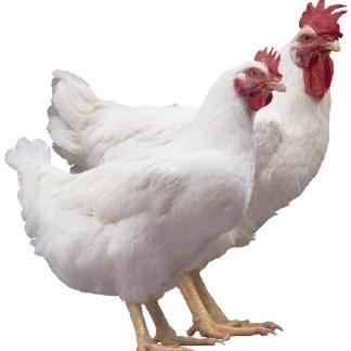 Meat Birds